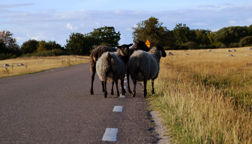 tři ovce